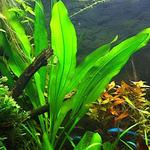 Echinodorus Green Pepper (koszyk)