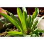 Echinodorus Green Pepper - RATAJ (koszyk)