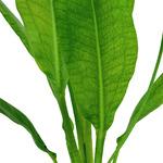 Echinodorus grisebachii Bleherae  - TROPICA koszyk (opakowanie)