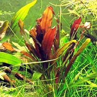 Echinodorus hadi red pearl - RA koszyk XXL