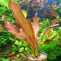 Echinodorus Harlequin - PLANTACJA (koszyk)