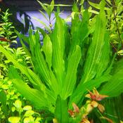 Echinodorus Horemani green - RA koszyk duży XXL