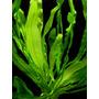 Echinodorus horemani - Rataj (koszyk)