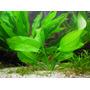 Echinodorus horizontalis - RA koszyk duży XXL