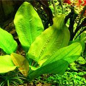 Echinodorus Jan Harbich - RATAJ (koszyk)