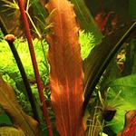 Echinodorus Jani (koszyk)