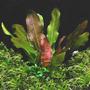 Echinodorus Kleiner Bar - PLANTACJA (koszyk)