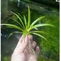 Echinodorus latifolius (in-vitro) puszka 10cm XXL