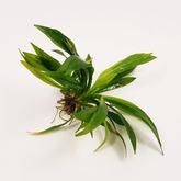 Echinodorus latifolius - sadzonka