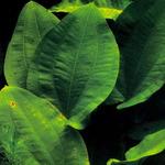 Echinodorus macrophyllus - RA koszyk duży XXL