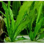 Echinodorus major (koszyk)