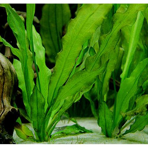 Echinodorus major - RATAJ (koszyk)