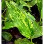 Echinodorus Marble Queen - PLANTACJA (koszyk)