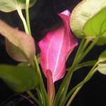 Echinodorus orientalis - RA koszyk duży XXL