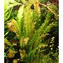 Echinodorus osiris - PLANTACJA (koszyk)