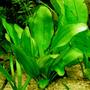 Echinodorus ovalis - RATAJ (koszyk)