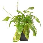 Echinodorus Ozelot Green - matecznik TROPICA (koszyk XL)