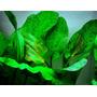 Echinodorus ozelot GREEN - RA koszyk duży XXL