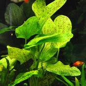 Echinodorus Ozelot Green - RATAJ (koszyk)