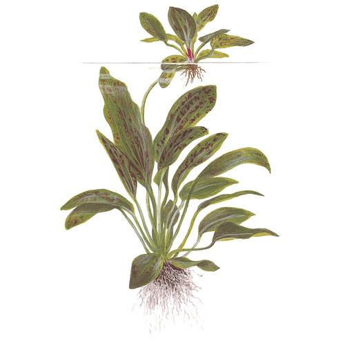 Echinodorus Ozelot Green TROPICA (koszyk)