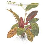 Echinodorus ozelot - matecznik TROPICA (koszyk XL)
