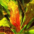 Echinodorus Ozelot RED - RA koszyk duży XXL