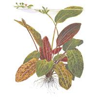 Echinodorus Ozelot TROPICA (koszyk)