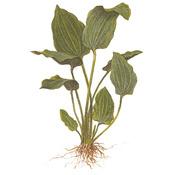 Echinodorus palaefolius TROPICA (koszyk) - chętnie wyrasta nad wodę