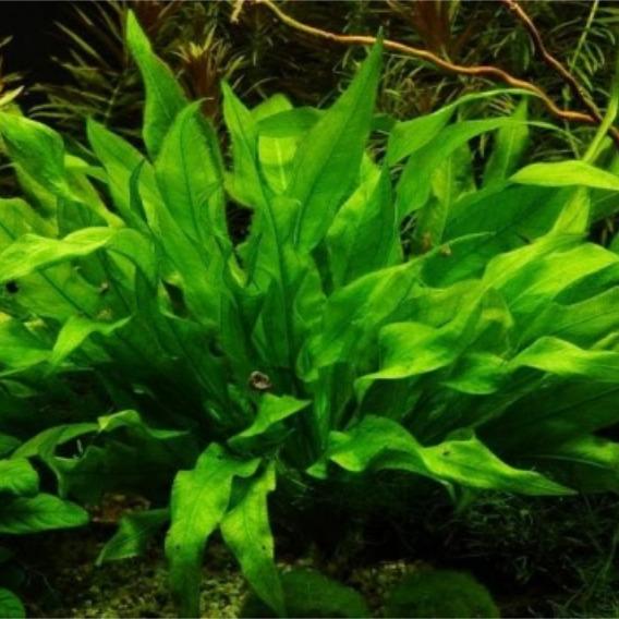 Echinodorus paniculatus - RATAJ (koszyk)