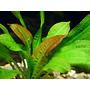 Echinodorus parviflorus - PLANTACJA (koszyk)