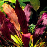 Echinodorus Purple (koszyk)