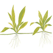Echinodorus quadricostatus (Helanthium Quadricostatus) TROPICA (koszyk)