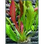 Echinodorus Red Devil - RA koszyk duży XXL