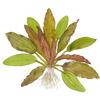 Echinodorus Red Diamond TROPICA (koszyk)