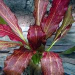 Echinodorus Red Flame - PLANTACJA (koszyk)