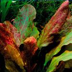 Echinodorus Red Flame - RA koszyk duży XXL