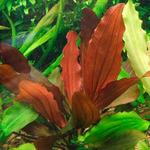 Echinodorus Red Indian - PLANTACJA (koszyk)
