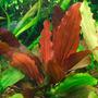 Echinodorus Red Indian - RA koszyk XXL