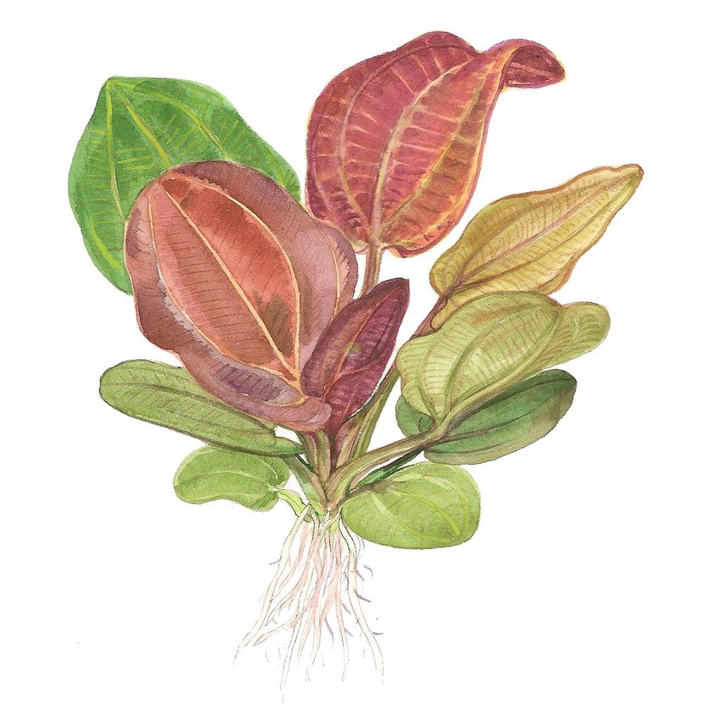 Echinodorus Reni TROPICA (koszyk)