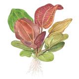 Echinodorus Reni TROPICA (opakowanie)