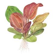 Echinodorus Reni TROPICA (PCS)