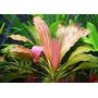 Echinodorus Rose - RATAJ (koszyk)