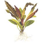Echinodorus Rose TROPICA (opakowanie)