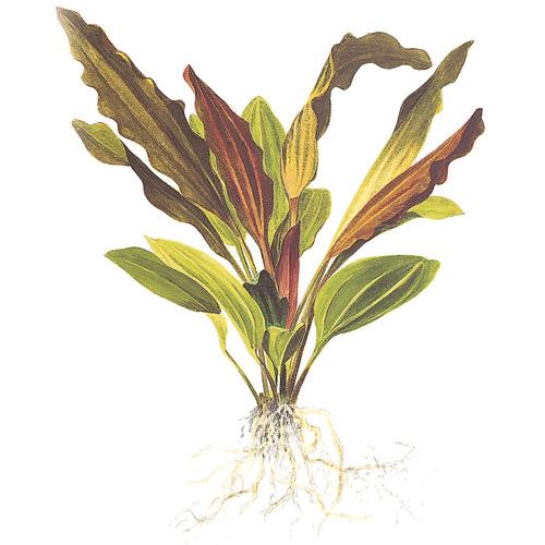 Echinodorus Rose - TROPICA (PCS) - opakowanie