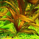 Echinodorus rubin narrow leaves (koszyk) - NOWOŚĆ
