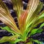 Echinodorus rubin - PLANTACJA (koszyk)