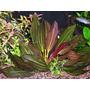 Echinodorus rubin - RATAJ (koszyk)
