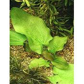 Echinodorus rubromaculatus (koszyk)