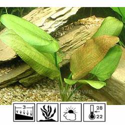 Echinodorus scaber (koszyk).
