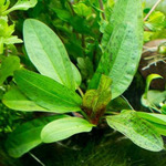 Echinodorus schlueteri - RATAJ (koszyk)